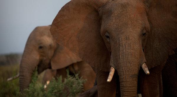 bull-ivory1-articleLarge